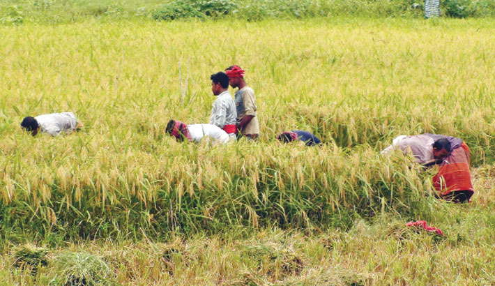 Farmers are busy harvesting Boro paddy