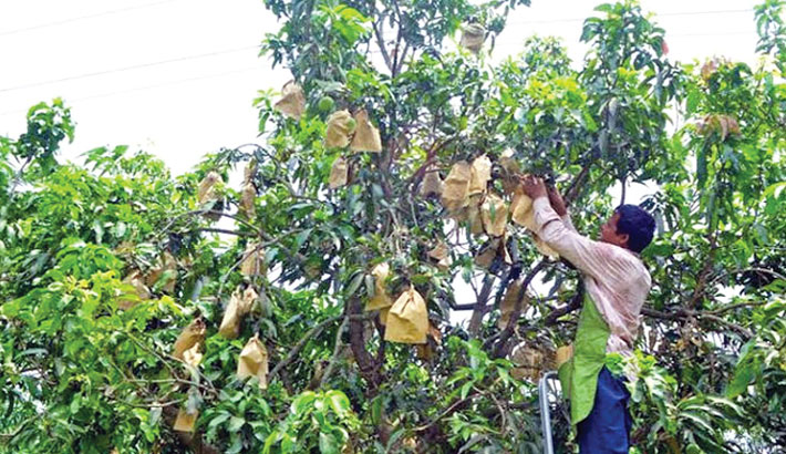 Mangoes are being processed through fruit-bagging system at an orchard