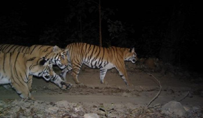 Sundarbans' Tiger population rises to 114