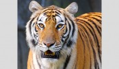Tiger population rises by 8pc in Sundarbans
