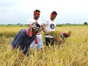 Now BCL president Shovon joins farmers in harvesting paddy