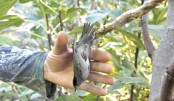 Illegal hunting threatens  songbird prized as delicacy: Study