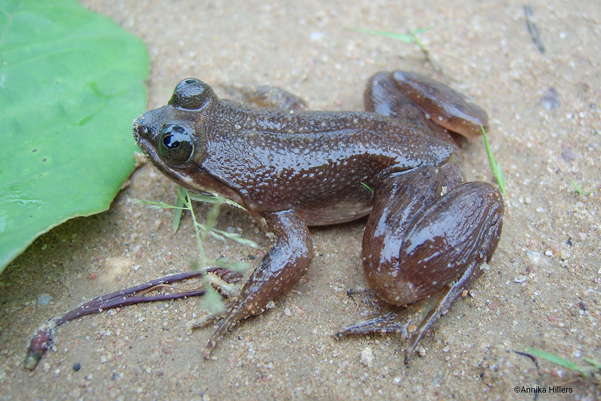 One man's fight to save a rare slippery frog