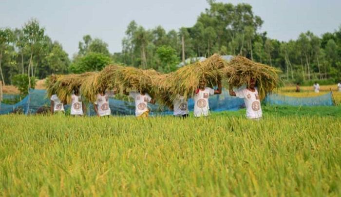 BCL Manikganj unit joins farmers in harvesting paddy