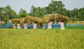 BCL Manikganj unit joins farmers in harvesting paddy