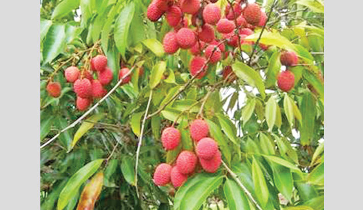 Litchi trading goes on in  full swing in Rajshahi