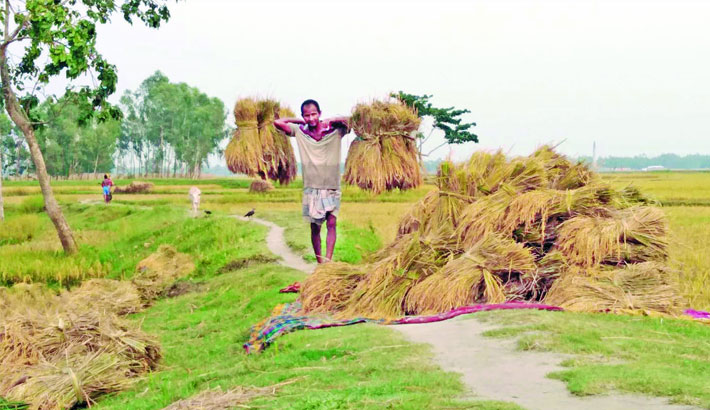 Farmer is stacking up paddy
