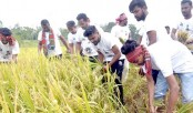 BCL Dinajpur unit joins farmers in harvesting paddy