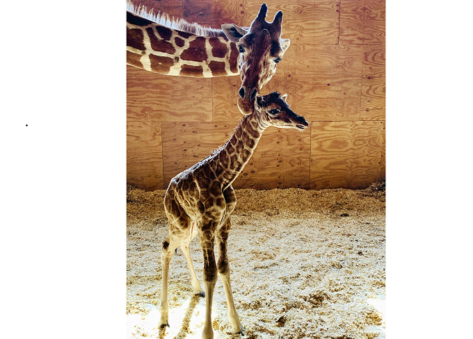 No more babies: Giraffe is going on birth control