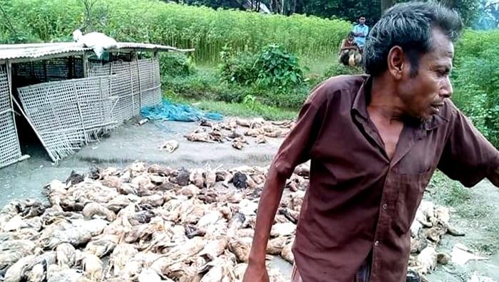 800 ducks 'poisoned' to death in Netrakona