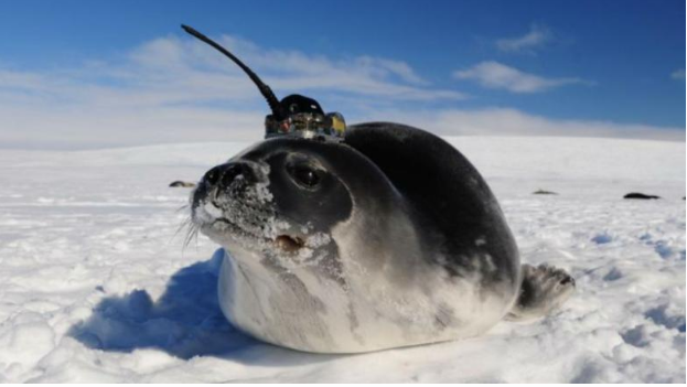 Seals with antennas on their heads helped scientists solve an Antarctic mystery