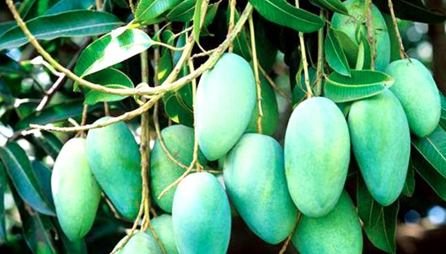 Rajshahi starts exporting mango to 7 countries