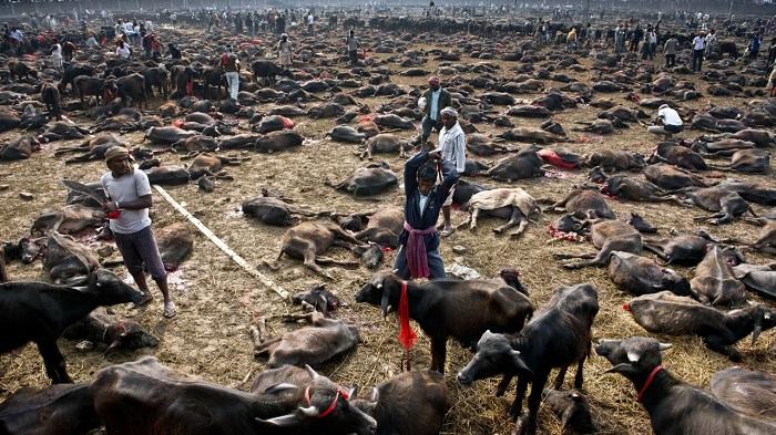 Nepal activists call for end of animal sacrifice