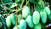 Rajshahi starts exporting mango to 7 countries