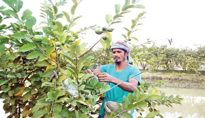 Man is taking care guava plants