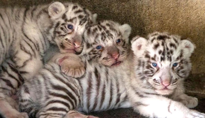 White tiger cubs uncovered on Tunisia-Libya border