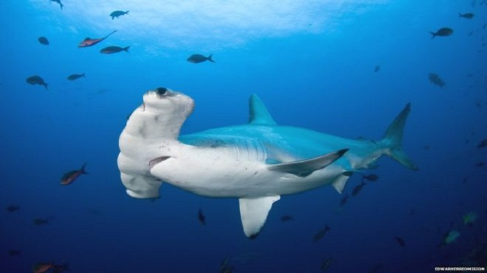 One woman's mission to protect the hammerhead