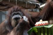 Paris zoo gives orangutan Nenette a 50th birthday party