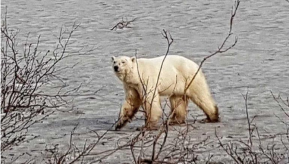 Hungry polar bear seen wandering hundreds of miles from home