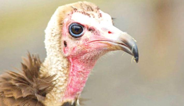 Endangered vultures poisoned en masse in Botswana