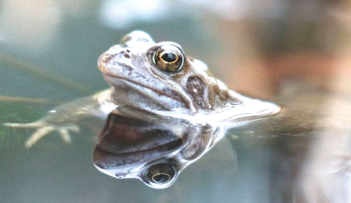 'Friendly' bacteria could help save frogs