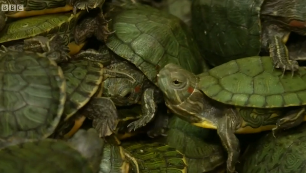 Malaysia seizes 5,000 smuggled turtles at airport