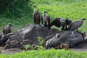 500 vultures die in Botswana after eating poisoned elephants