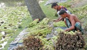 Growers are busy sorting out Stolon of Tara