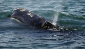Scientists sound alarm after 6 rare whale deaths in a month