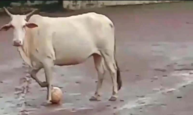 Video of football playing cow amuses Twitter