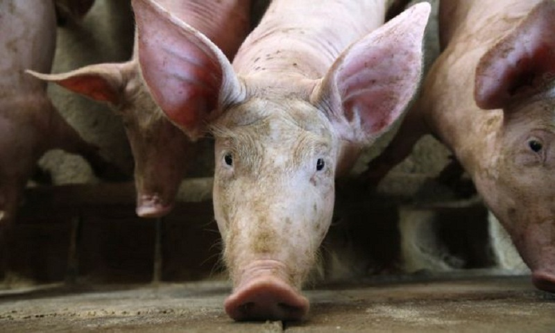 Swine fever: How is Asia coping with the outbreak?