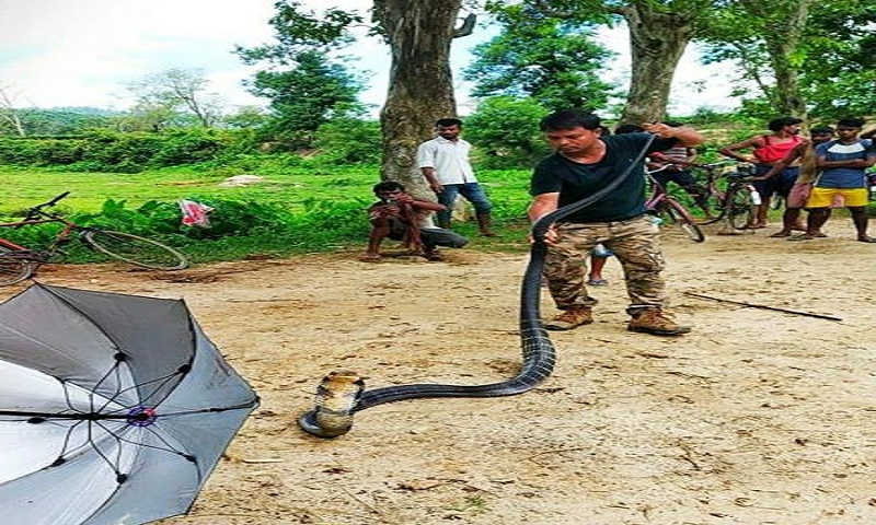 Scary 14-feet-long King Cobra spotted in Assam