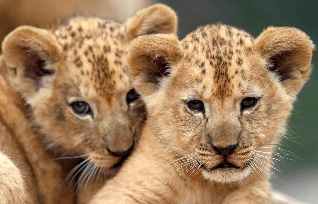 2 rare Barbary lion cubs born in Czech zoo