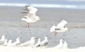 Australian seagulls carry antibiotic-resistant bugs
