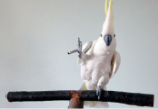 Headbanging cockatoo Snowball knows 14 different dance moves