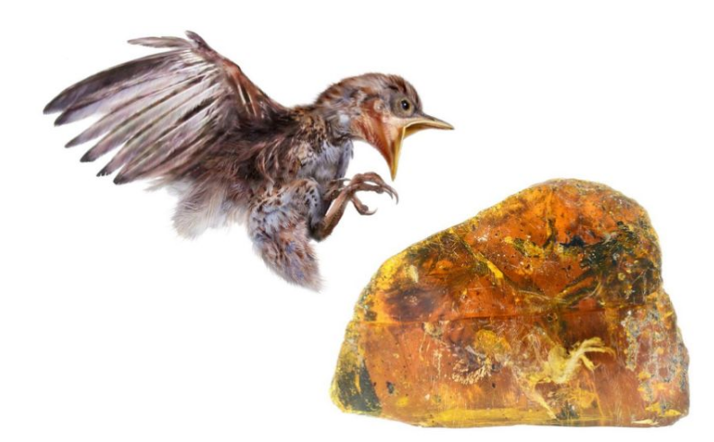 New species of ancient bird found fossilized in amber