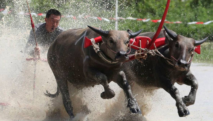 Thai farmers race their buffaloes in show of gratitude