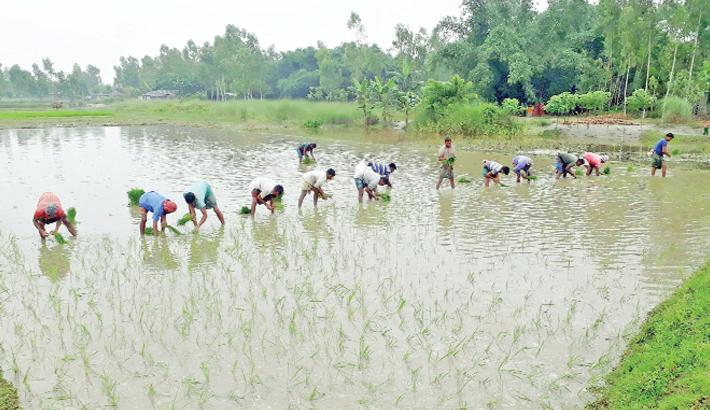 Farmers busy planting boro saplings
