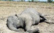 Wild elephant's body found in Sherpur