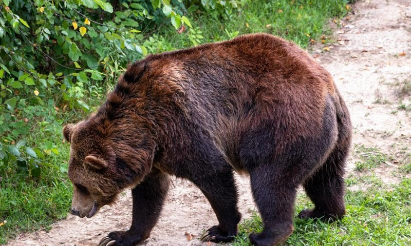 Clever brown bear in Italy eludes captivity