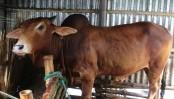 Faridpur farmers busy nurturing cattle as Eid-ul-Azha approaches