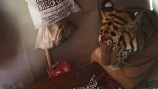 Floods effected tired tiger takes nap in resident's bed