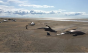 Dozens of dead whales found on a beach in Iceland