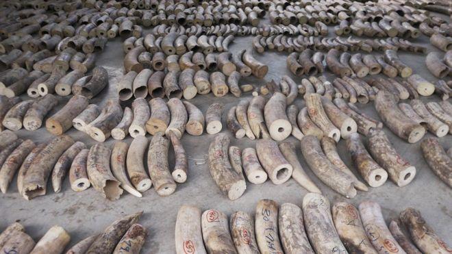 Singapore seizes elephant ivory and pangolin scales
