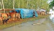 Cattle farmers hit hard by flood