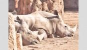 Two rare white rhinos  pregnant at Belgian zoo