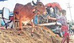 30 cattle markets set up in Khulna