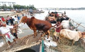 Sacrificial animals arriving in capital