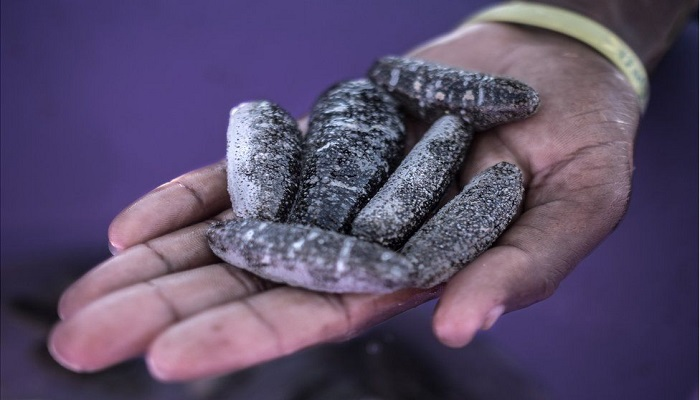 Madagascar farmers trying to save sea cucumber