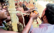 Two cattle farmers feed steroid-mixed liquid to a cow